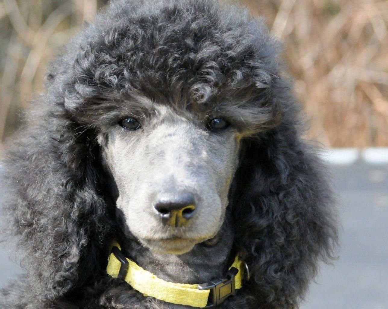 Dog Obedience Training Advice Dogtrainingvideo In 2020 Poodle