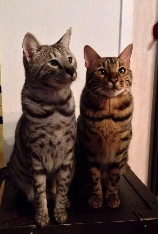 Meet Neo and Pirat   Belgal cat