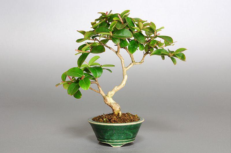 小品盆栽・サルスベリ-F2(さるすべり・百日紅)の販売と育て ...