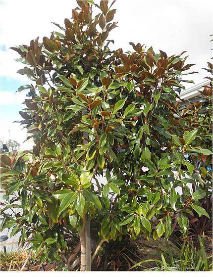 Pin On Magnolia