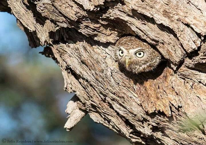Pearlspotted Owlet   Animals, Baby animals, Birds