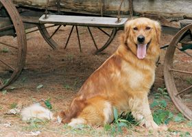 Aggson S Pot O Gold Iowa Golden Retriever Breeder Golden