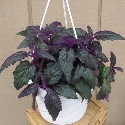 purple passion plant purple passion vine velvet plant gynura aurantiaca potted plantsindoor