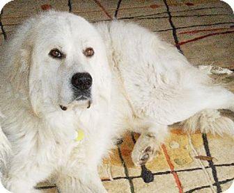 3 8 14 Garland Tx Great Pyrenees Meet Max A Dog For Adoption