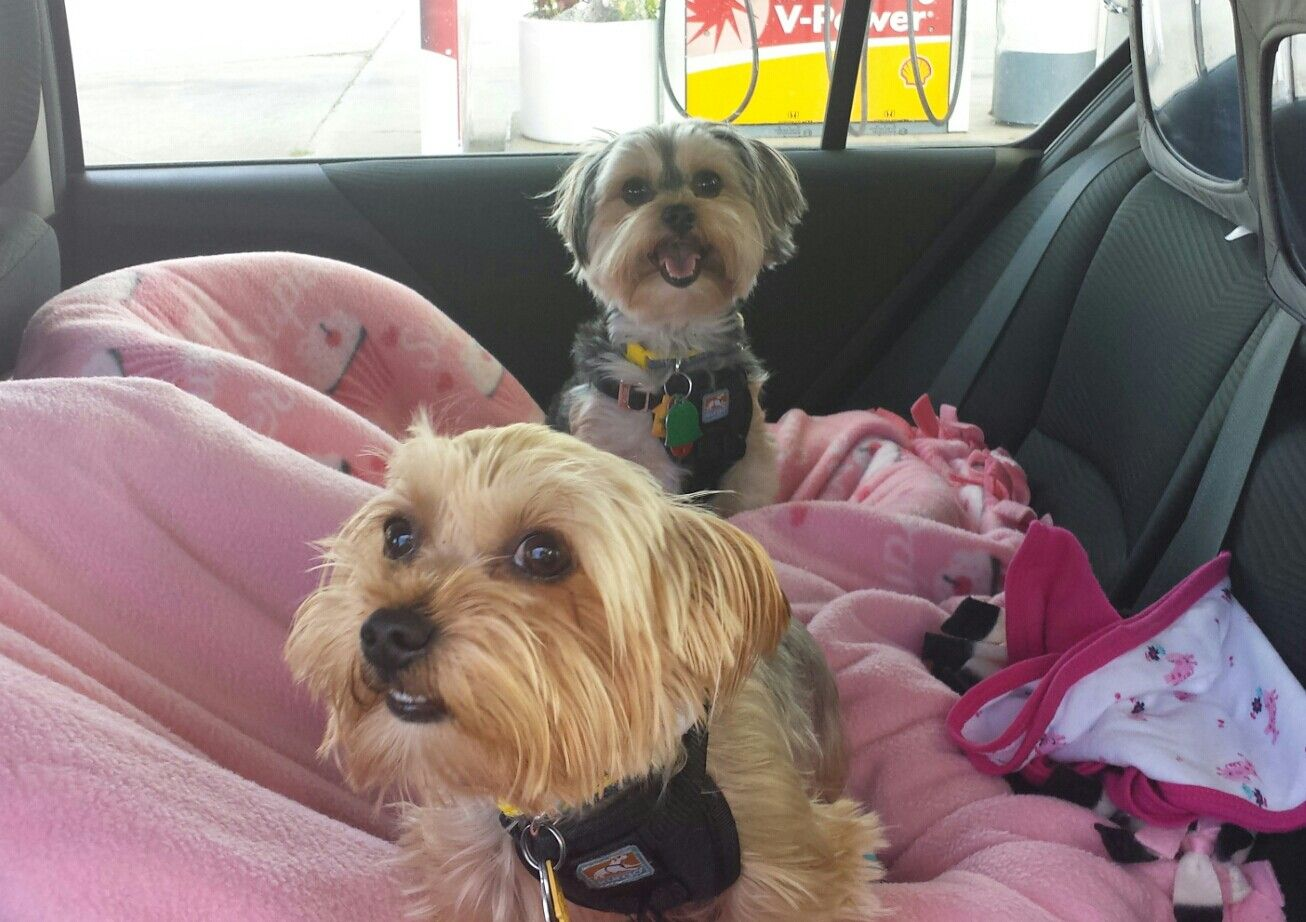 Infant car seats converted into pet safety seats. Perfect way to travel. #carseat #pet #boosterseat #petsafety #dog #yorkie #morkie #pettravel #roadtrip