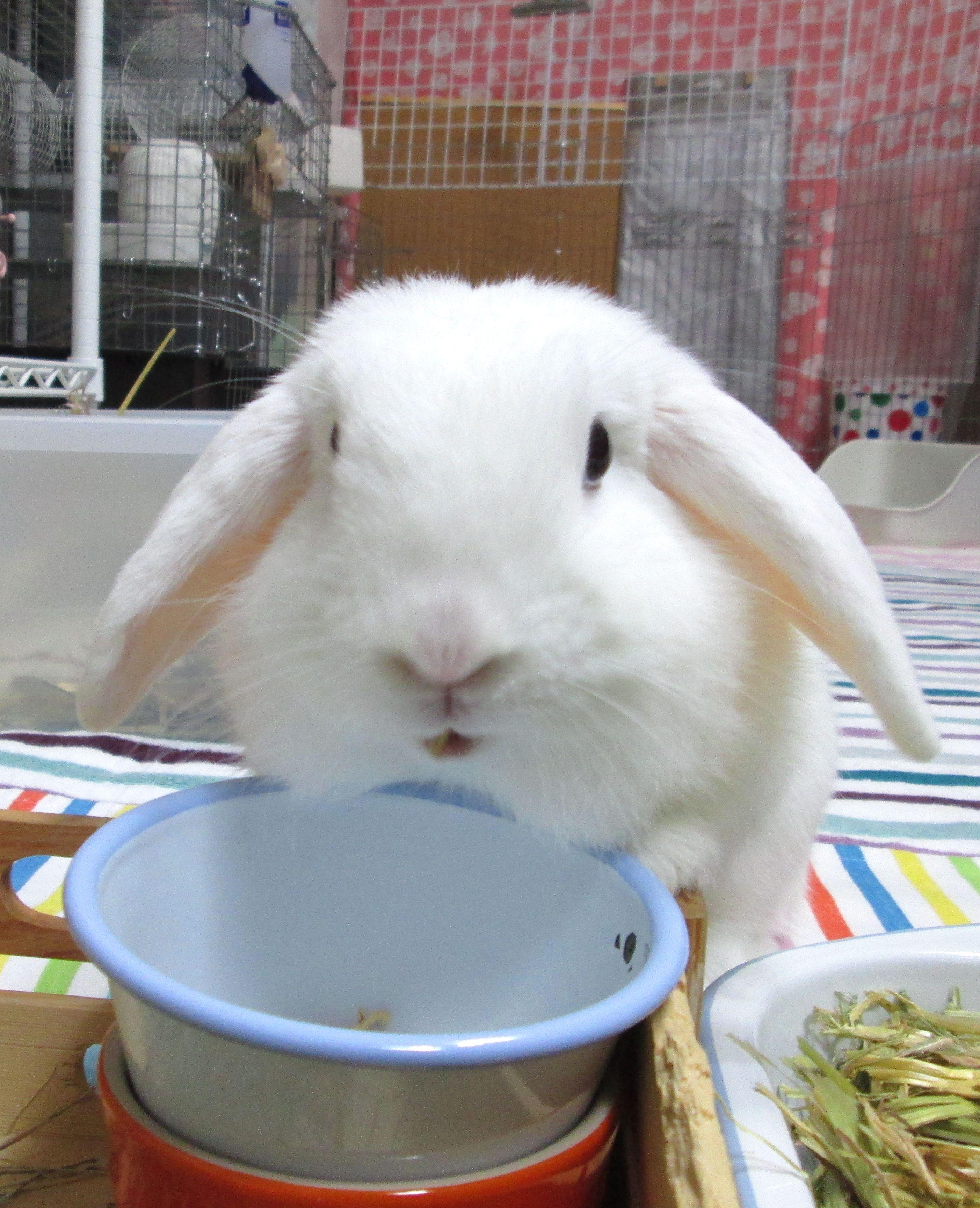 Jack Rabbit Usa >> Holland Lop Blue Eyed White Bunny Rabbit Usa Other