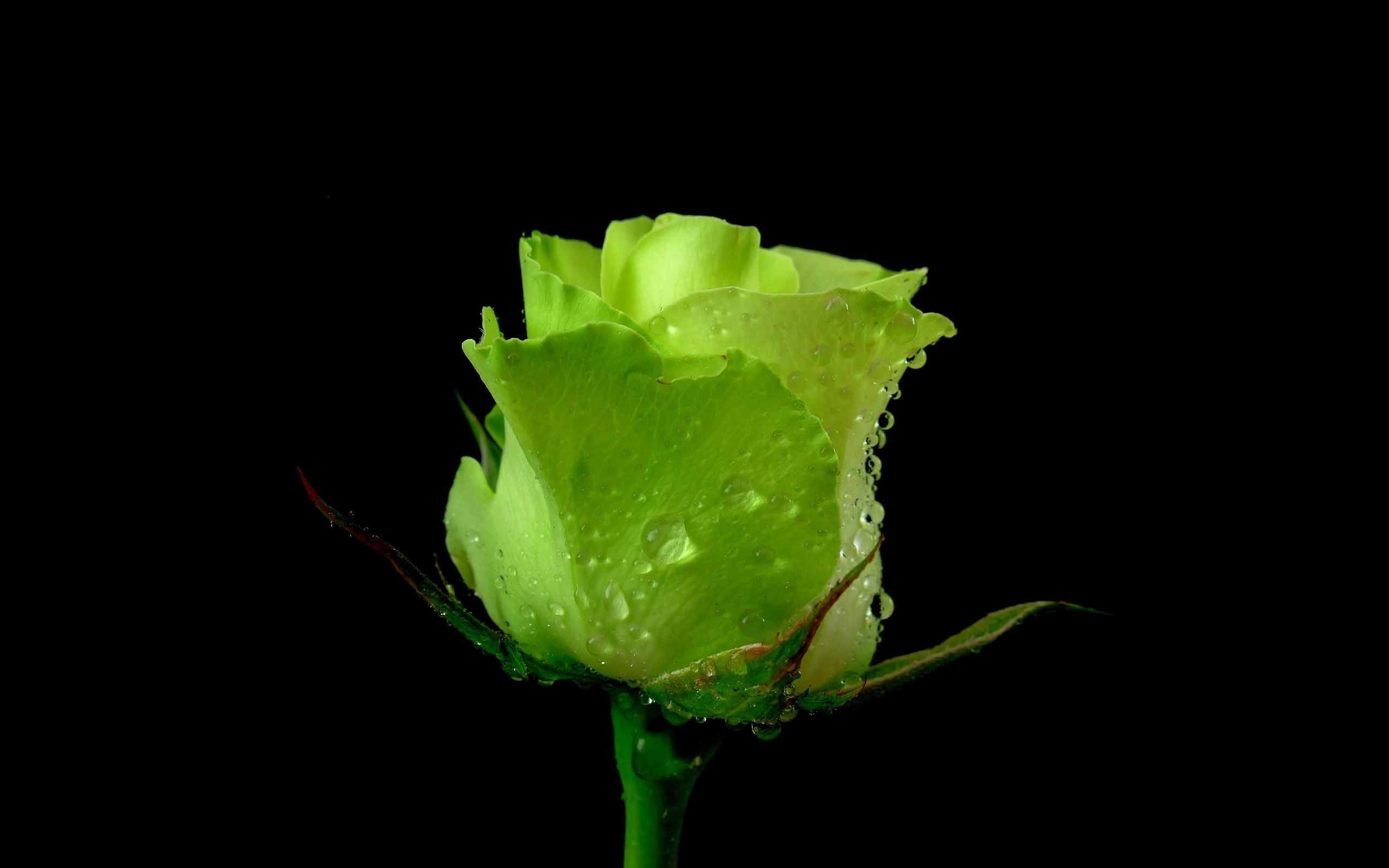 2560x1600 Unseen Green Rose With Black Background Love Wallpaper Green Rose Rose Flower Wallpaper Rose Flower
