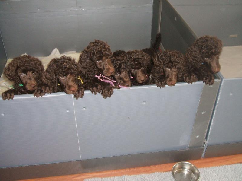 City Lights Standard Poodles Puppy Photo Album Poodle Puppy Standard Puppy Photos Poodle Puppy