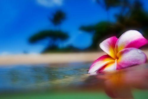 Floating Plumeria Tropical Flower Plants Plumeria Tropical Islands Paradise