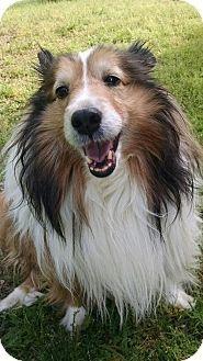 6 16 15 Columbia Sc Sheltie Shetland Sheepdog Meet Jojo A Dog For Adoption Http Www Adoptapet Com Pet 13172621 Col Sheltie Pets Dog Adoption