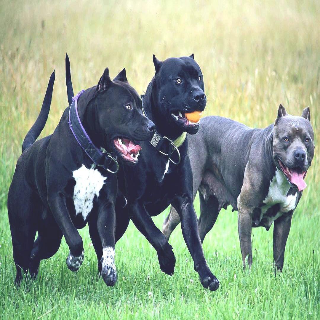 Get 3d Bull Terrier Free Stickers Pitbull Terrier Pitbull Dog