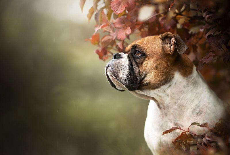 Animal Boxer Dogs Dog Pet Boxer Dog Wallpaper Wallpaper Grab Wallpapers Free Downloads Of Hd Wallpapers For Android Iphone Dog Wallpaper Pets Boxer Dogs