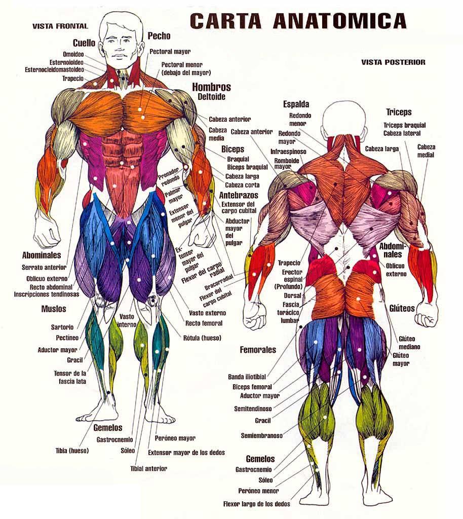 Tu gimnasio en la red: Los músculos del cuerpo humano | anatomia ...