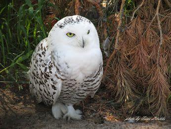 Snowy Owl, Tunturipöllö, photo by Tiina Litukka Korkeasaari, FInland