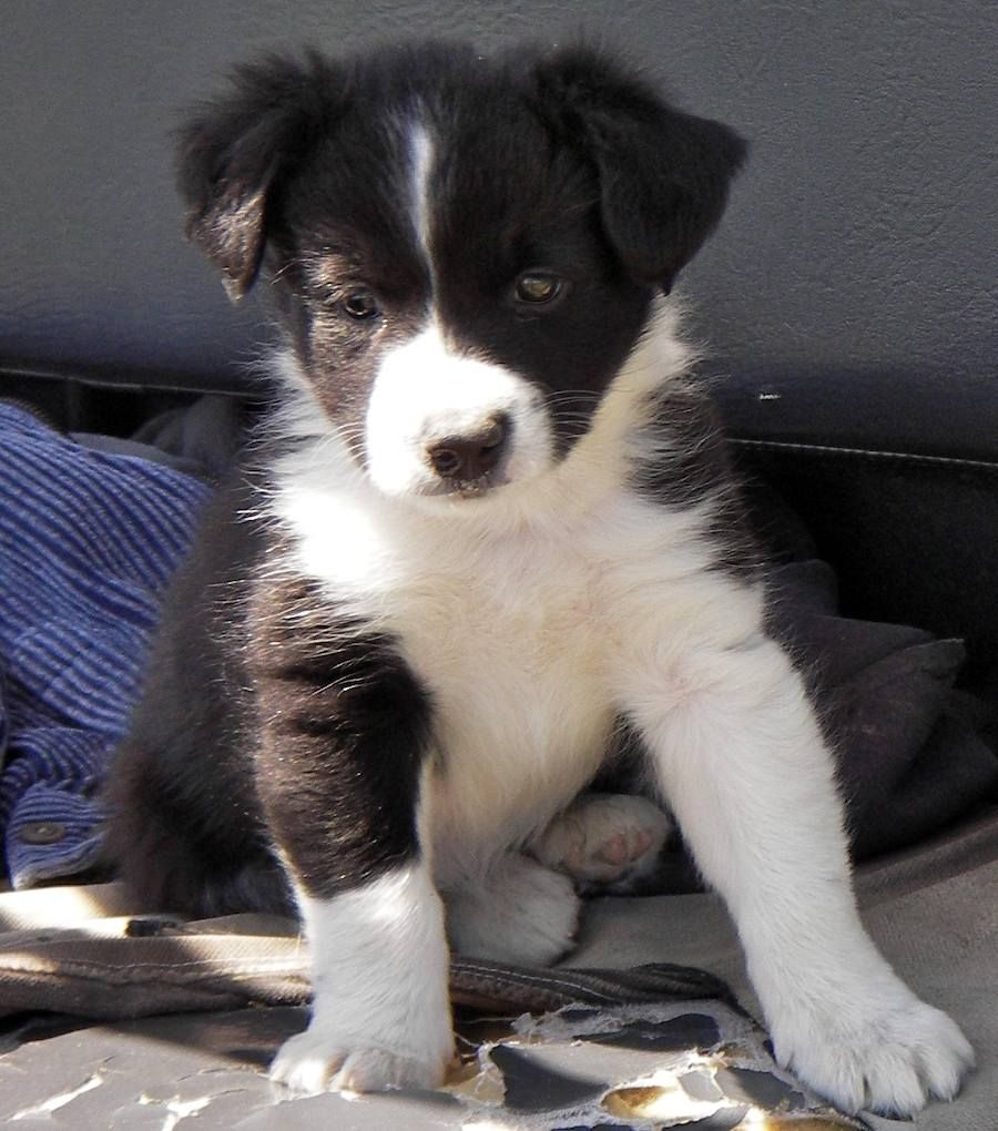 Lil' border collie baby )This is almost exactly what my