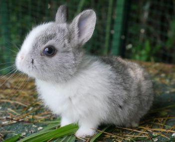 Adoption Lapins Nains Lapin Nain Lapin Animaux