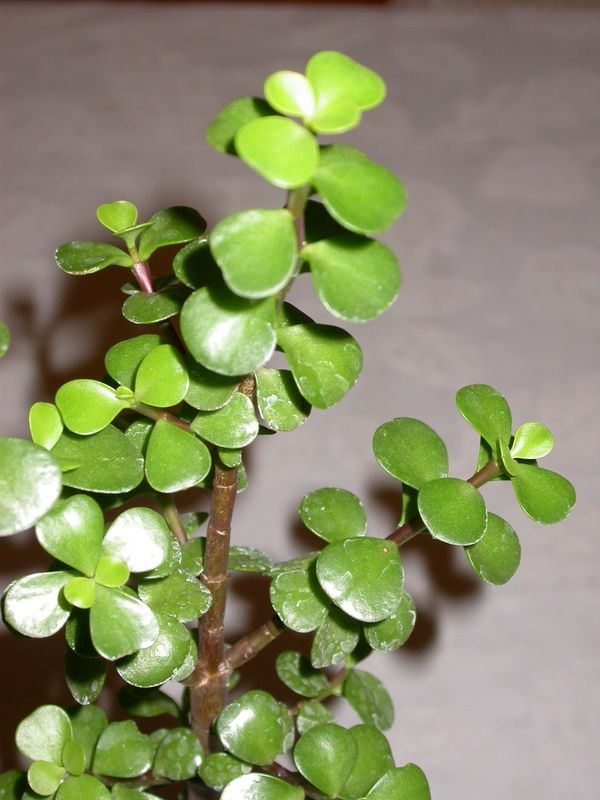 How to Grow and Care for an Elephant Bush (Portulacaria ... |Elephant Caring For Jade Plant