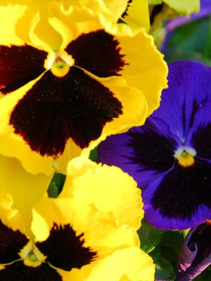 Pansy Grow Guide Plants Plant Pests Pansies