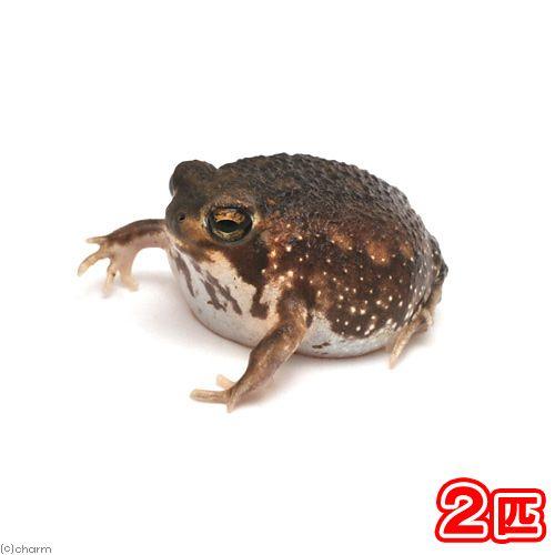 両生類 アメフクラガエル 2匹 沖縄 離島不可 航空便不可 楽天市場 かわいいカエル 動物 かわいい 両生類