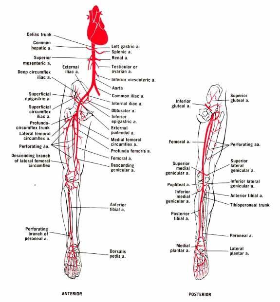 Arteries Of The Lower Limb E Pinterest Arteries Anatomy