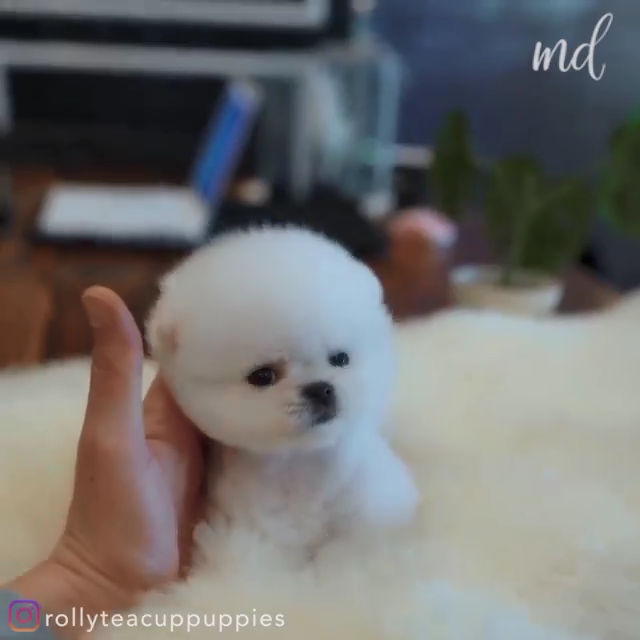 Puppy Cuteness Video In 2020 Cute Small Dogs Cute Fluffy Dogs Pomeranian Puppy Teacup