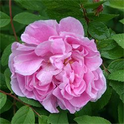 Therese Bugnet rose.  Is supposedly a very hardy rose to zone 3 and can grow upwards of seven feet tall.  I would LOVE to have a climbing rose in my garden next year.