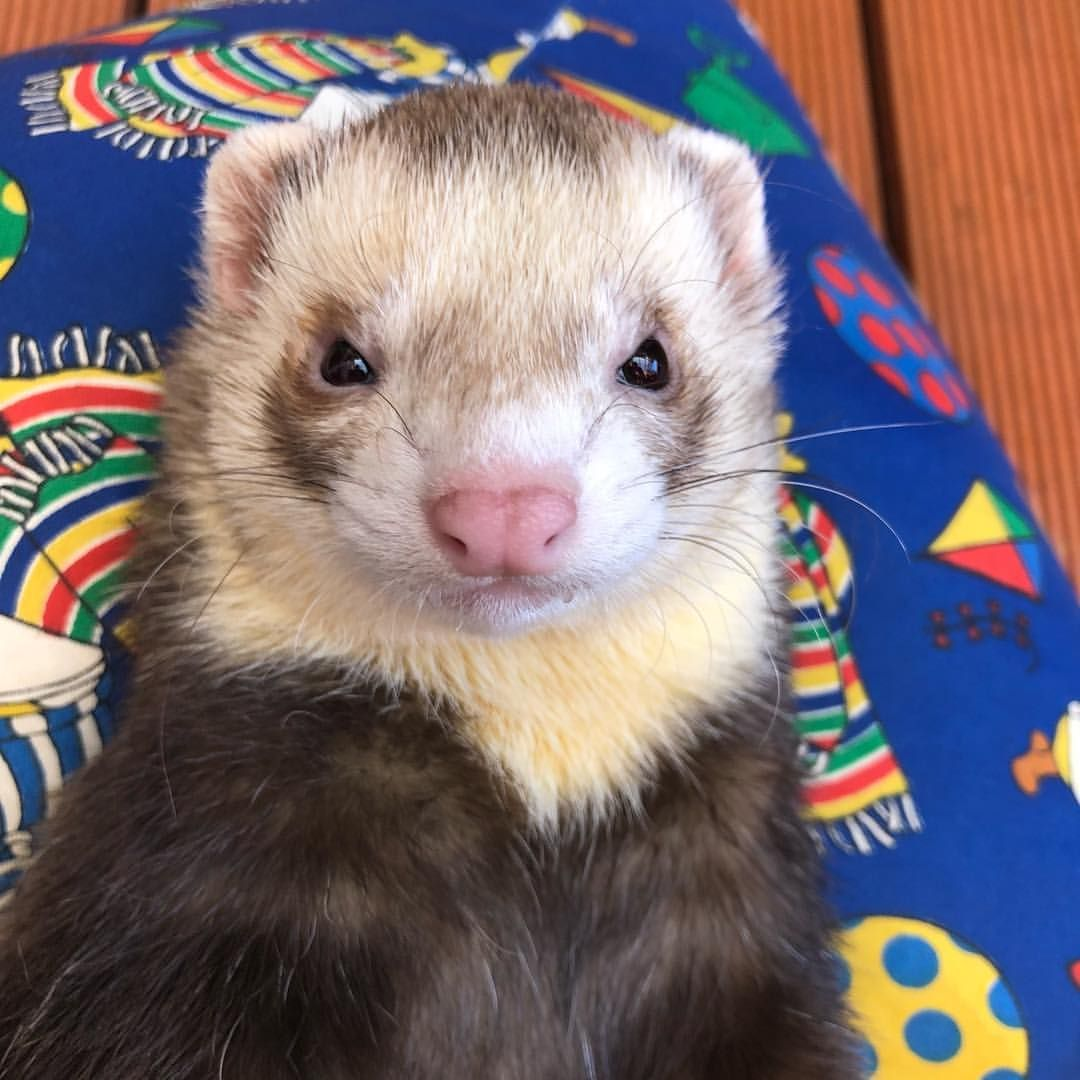 That Face Like Us Follow Us Dex And Lola Ferret Ferrets Ferretlove Ferretlover Ferretsofig Ferretsofinstagram Ferre Cute Ferrets Ferret Animals