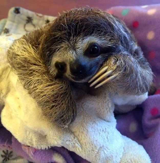 THIS IS LUNITA.   Meet Lunita, The Cutest Baby Sloth On Planet Earth