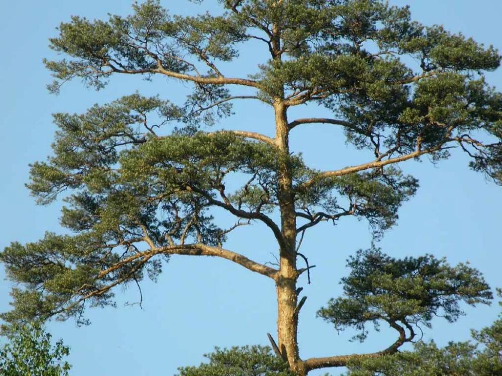 День, картинки деревья сосна