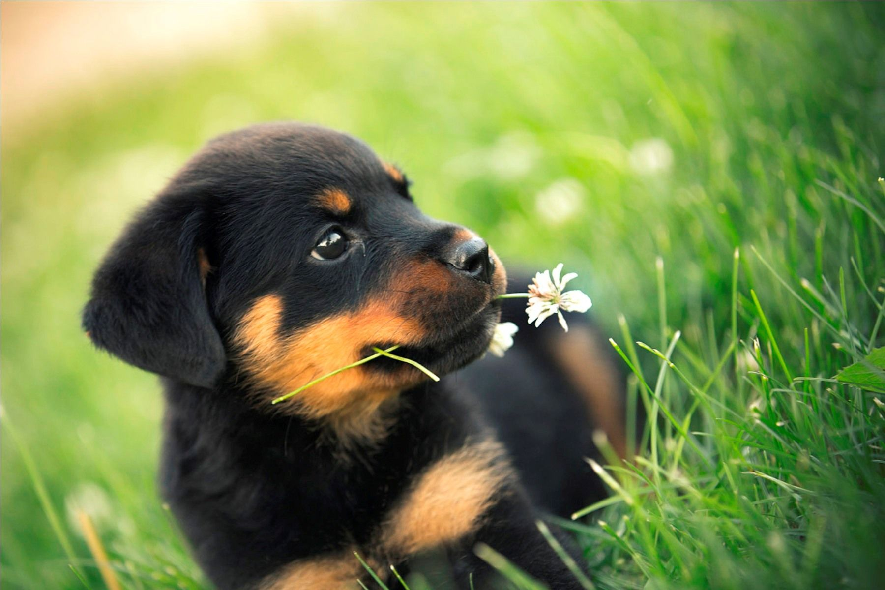 Rottweiler Puppy Wallpaper 1800 1200 Rottweiler Puppies