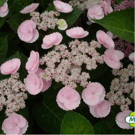 Hydrangea Macrophylla Camino Cov Hortensia Rose Camino Hortensia Rose Hortensia Hydrangea Hortensias