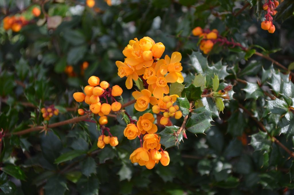 Berberis darwinii discovered by darwin in 1834 on the island chiloe berberis darwinii discovered by darwin in 1834 on the island chiloe in southern chile evergreen shrubsspring flowerschilesouthernchilichilisspring colors mightylinksfo