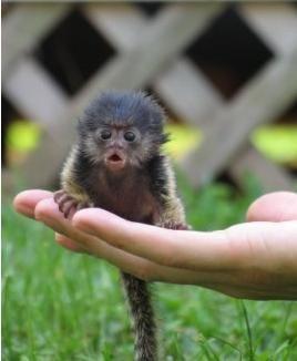 Apparently there are teeny tiny pygmy monkeys. I want 400 of them.