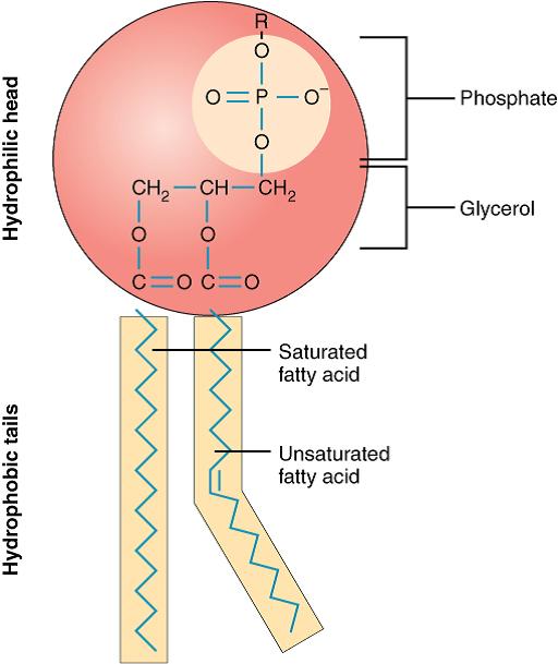 Phospholipid structure image (Openstax, Anatomy & Physiology, 2017 ...