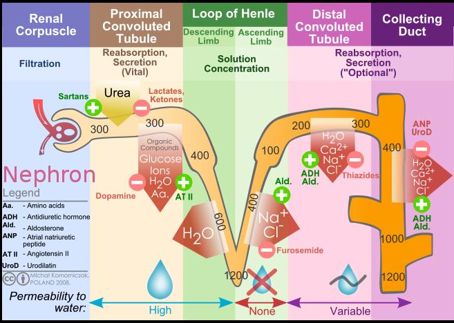 Renal Filtration Description Kidney Nephron Molar Transport