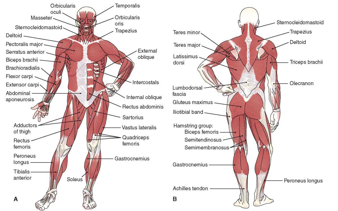 the human muscles anatomy - Google Search | school studies | Pinterest