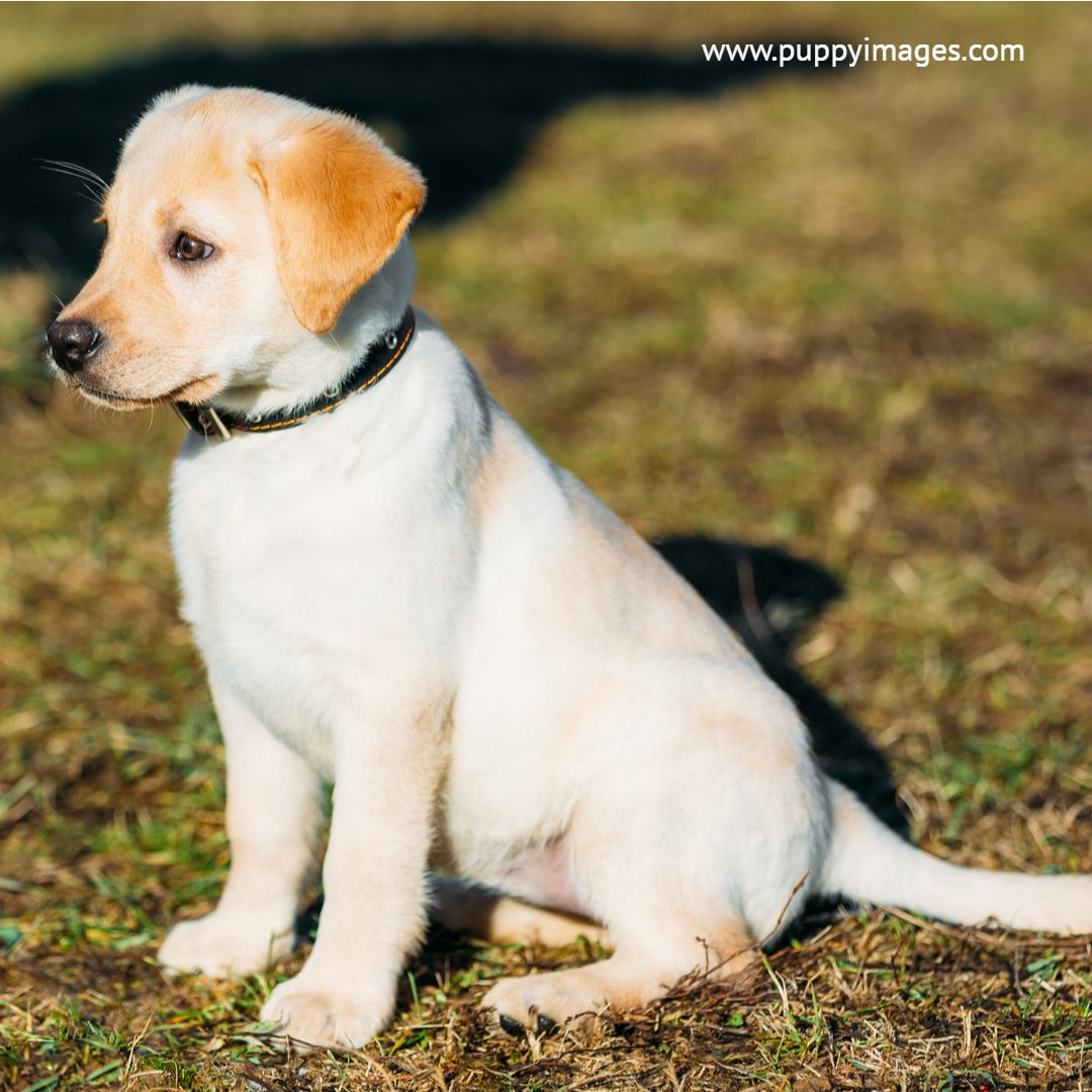 White Lab Retriever Pup French Bulldog Puppy Black White French Bulldog Puppies Retriever
