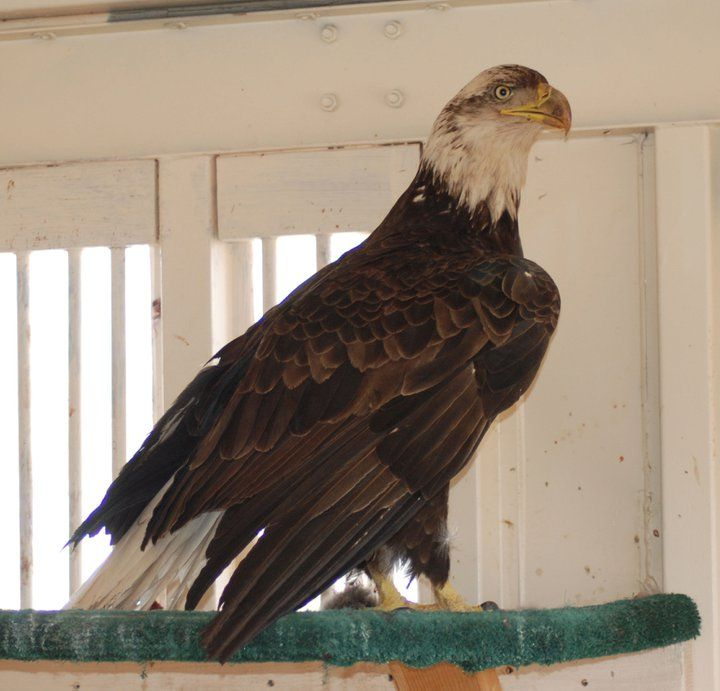 4 year old Bald Eagle, it still has some brown feathers in ...