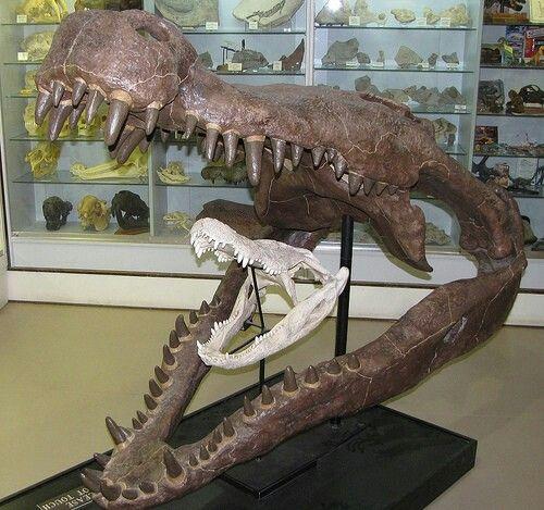 deinosuchus skull vs alligator skull paleontology