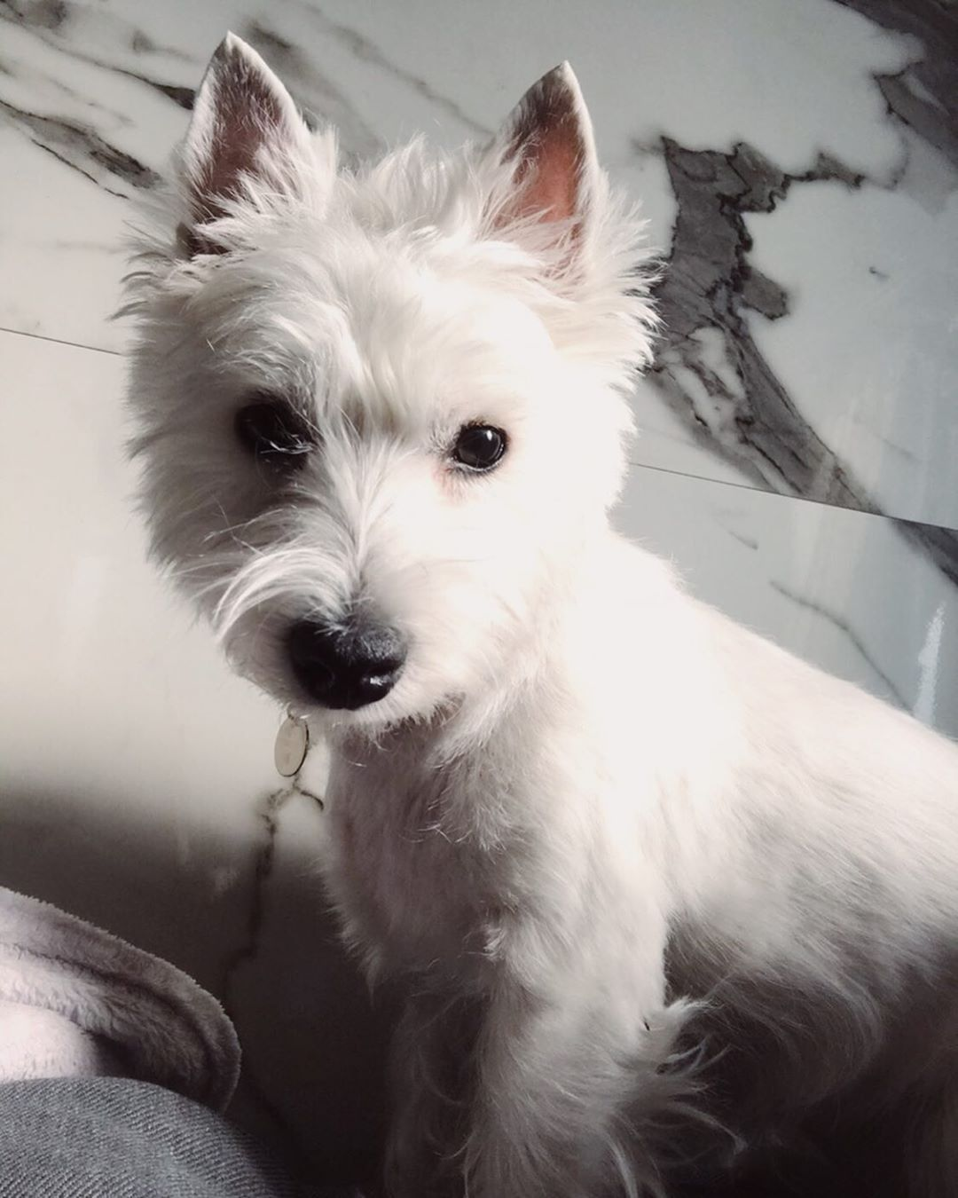 Pin By Heather Hardecopf On Too Cute In 2020 West Highland White Terrier White Dogs Cute Animals