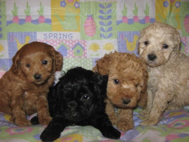 Poodle Mixes That Don T Shed Wow Com Image Results Cockapoo