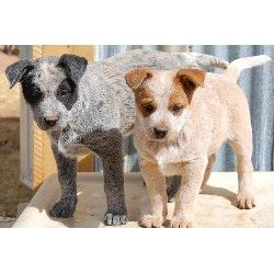 Here S A Couple Of Heeler Puppies Blue And Red Austrailian Cattle Dog Aussie Cattle Dog Heeler Puppies
