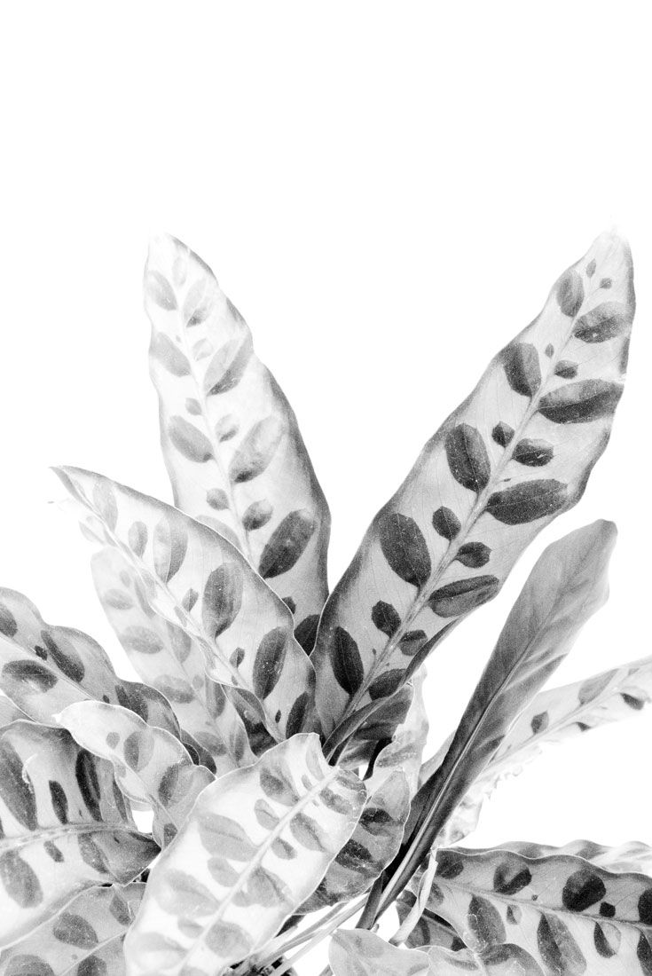 Rattlesnake black and white photography plants homedecor wallart