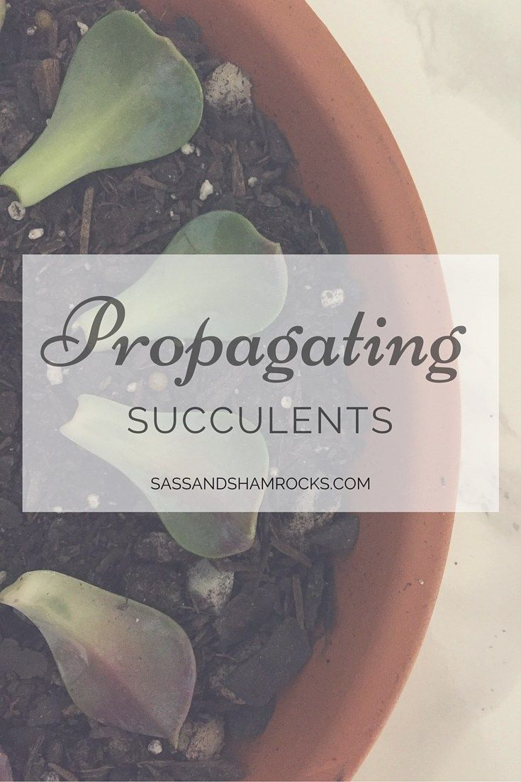 Propagating Succulents from Sass and Shamrocks
