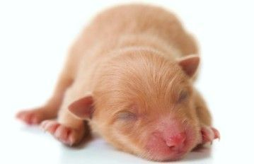 During Which Stage Of Growth Do Puppies Open Their Eyes Puppies Newborn Puppies Cute Animals