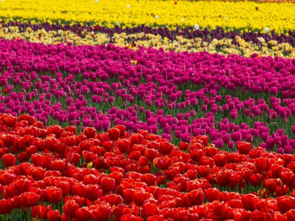 """Se me perguntassem de onde é originária a tulipa, eu logo responderia Holanda, claro! Errado, elas são da Turquia !  Foi trazida para o Holanda em 1560 pelo botânico Conrad Von Gesner, e hoje é a maior produtora de tulipas do mundo, exportando cerca de 2 bilhões de bulbos para mais de 80 países, inclusive para o nosso Brasil. É conhecida como """"mensageira da primavera""""."""