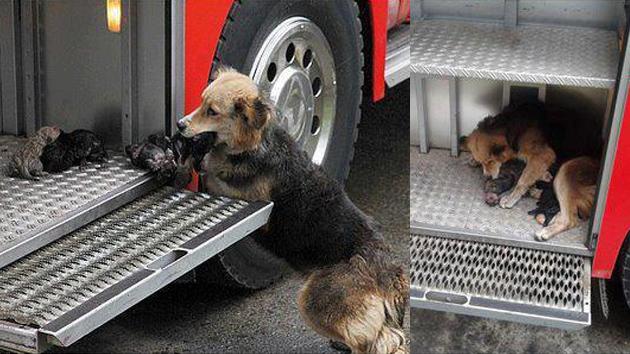 Foto: Perra 'heroína' salva a sus cachorros de un incendio – RT