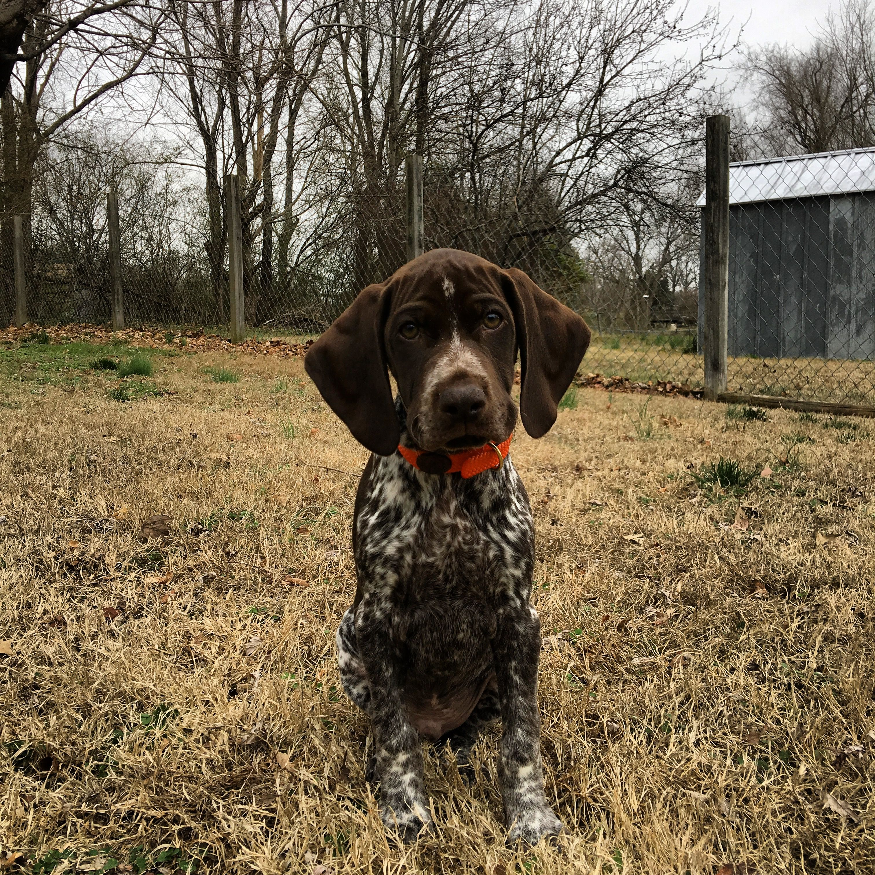 German Shorthaired Pointer Puppies For Sale In New Zealand