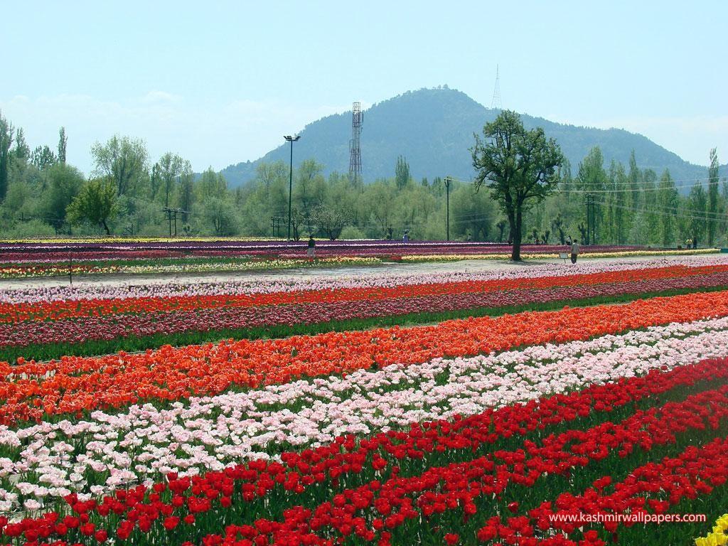 Tulip gardens kashmir