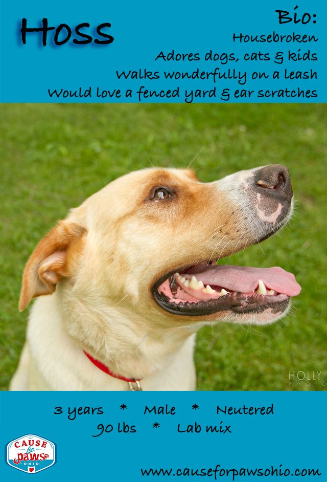 This big beautiful boy is Hoss! He is a 3 year old Lab mix ...